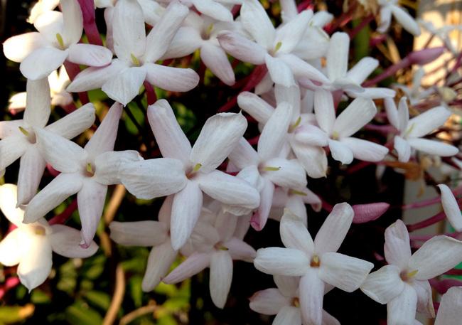 jasmine-03.jpg