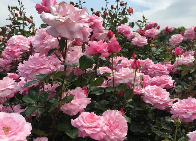 rose01 (8).jpg